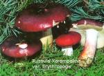 Foto Russula-Xerampelina-var.Ery