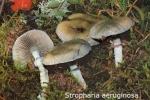 Foto Stropharia-Aeruginosa