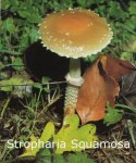 Foto Stropharia-Squamosa
