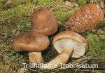 Foto Tricholoma-Imbricatum