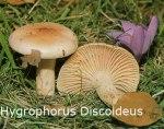 Foto Hygrophorus-Discoideus