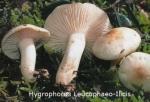 Foto Hygrophorus-Leucophaeo-ilic