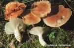 Foto Hygrophorus-Nemoreus