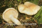 Foto Hygrophorus-Penarius