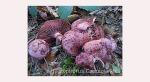 Foto Hygrophrus-Capreolarius