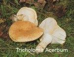 Foto Tricholoma-Acerbum