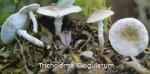 Foto Tricholoma-Cingulatum