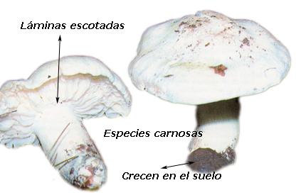*** Tricholomas ***