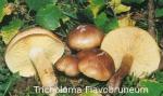 Foto Tricholoma-Flavobruneum