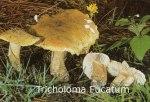 Foto Tricholoma-Fucatum