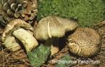 Foto Tricholoma-Pardinum