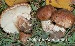 Foto Tricholoma-Populinum