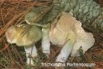 Foto Tricholoma-Portentosum