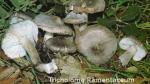 Foto Tricholoma-Ramentaceum