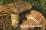 Foto Tricholoma-Robustum