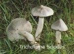 Foto Tricholoma-Sciodes