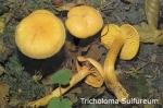 Foto Tricholoma-Sulfureum