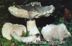 Foto Tricholoma-Tigrinum
