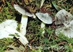 Foto Tricholoma-Virgatum
