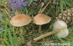 Foto Clitocybe-Fragans