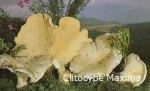 Foto Clitocybe-Maxima