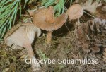 Foto Clitocybe-Squamulosa