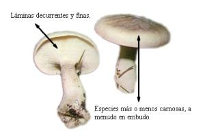 clitocybe