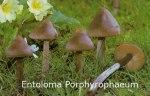 Foto Entoloma-Porphyrophaeum