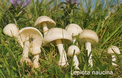 Foto Lepiota-Naucina