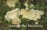 Foto Leucopaxillus-Paradoxus