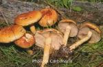 Foto Pholiota-Carbonaria