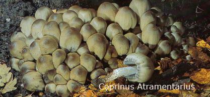 Foto Coprinus-Atramentarius