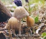 Coprinus-Domesticus