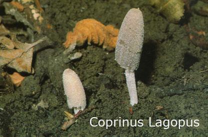 Foto Coprinus-Lagopus