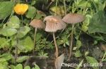 Foto Coprinus-Plicatilis