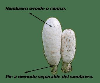 coprinus_comatus-31.png