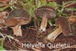 Foto Helvella-Queletii