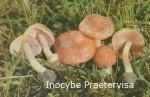 Foto Inocybe-Praetervisa