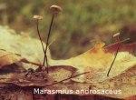 Foto Marasmius-Androsaceus