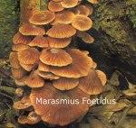 Foto Marasmius-Foetidum