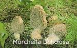 Foto Morchella-Deliciosa