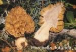 Foto Morchella-Rotunda