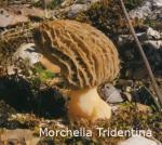 Foto Morchella-Tidentina