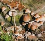 Foto Mycena-Alcalina
