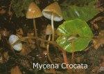 Foto Mycena-Crocata