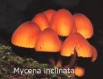 Foto Mycena-Inclinata