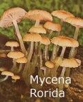 Foto Mycena-Rorida