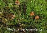Foto Mycena-Sanguinolenta